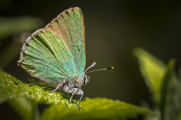 Blauer und brauner schmetterling thront auf grünem blatt