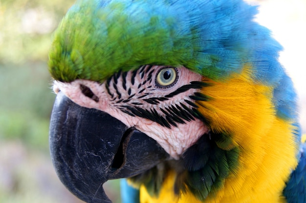 Blauer und gelber macaw
