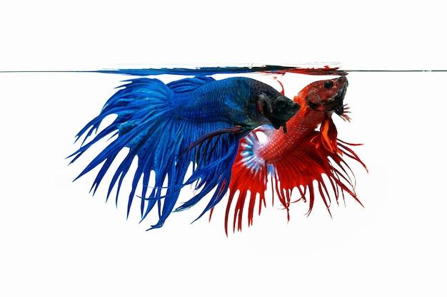 Blauer und roter betta-fisch, kämpfender fisch lokalisiert auf weißem hintergrund
