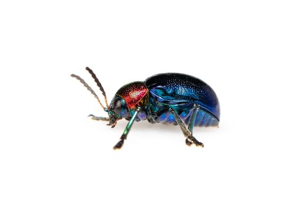 Blauer wolfsmilchkäfer hat blaue flügel und einen roten kopf isoliert. insekt. tier.