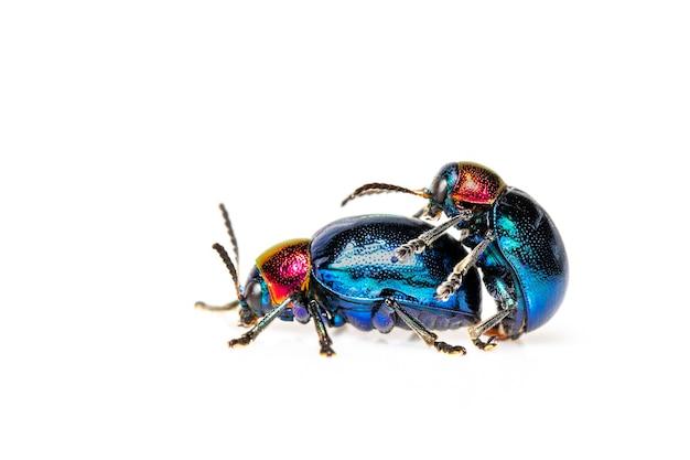 Blauer wolfsmilchkäfer mit blauen flügeln und einem paar mit rotem kopf, das sich liebt. insekt. tier.