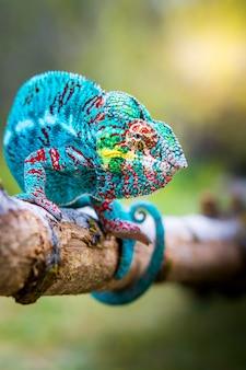 Blaues chamäleon in freier wildbahn thront auf einem ast und schaut seitwärts
