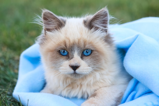 Blaues gemustertes kätzchen mit blauer decke