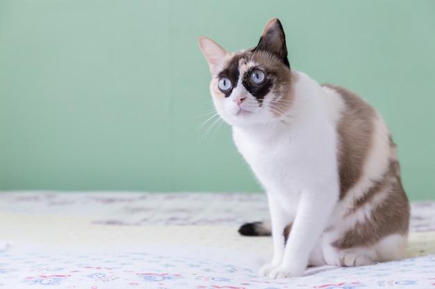 Blaues gemustertes lügen der thailändischen katze auf bettblick auf kamera mit hintergrund der grünen farbe.