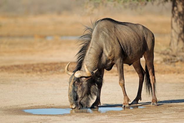 Blaues gnu (connochaetes taurinus) an einem wasserloch, kalahari-wüste, südafrika
