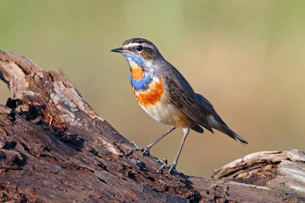 Blaukehlchen luscinia svecica schöne männliche vögel von thailand