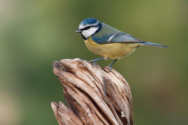 Blaumeise, meise, vögel, tier, cyanistes caeruleus