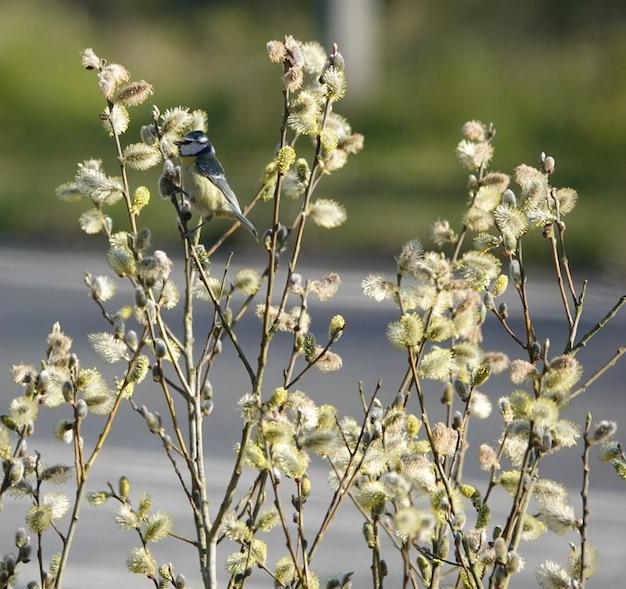 Blaumeisevogel, der auf dünnen ästen auf einem weidenbaum in einem park steht