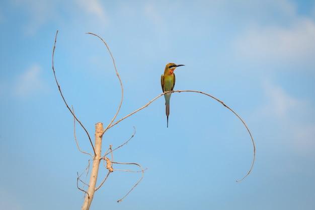 Blauschwanz-bienenfresser, vogel