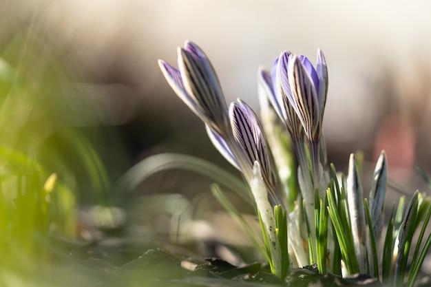 Blauvioletter krokus, der auf feld blüht, selektiver fokus, unscharfer hintergrund mit sonnenlicht. frühling