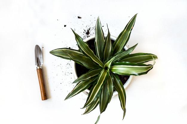 Bleib zu hause und arbeite im garten. wiederbepflanzung der dracaena-blume im innengarten. topfgrünpflanzen zu hause, städtischer dschungel. blumendekor.