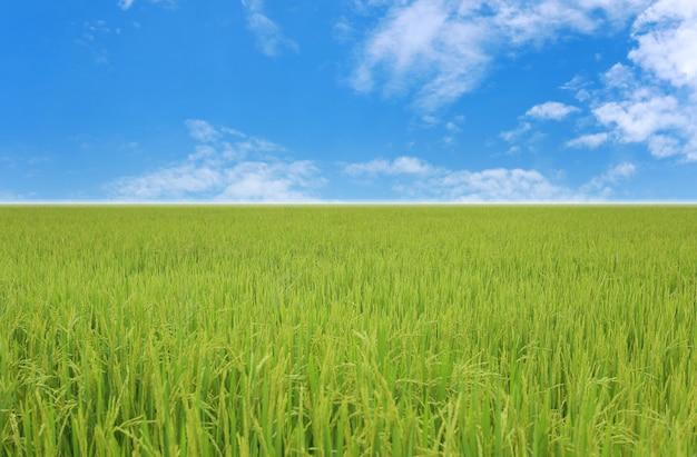 Blick auf das reisfeld tagsüber, landwirtschaftliche gebiete thailands.