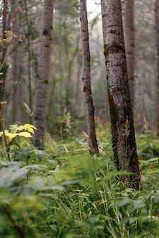 Blick auf den wald der mittleren breiten im spätsommer. espenbäume