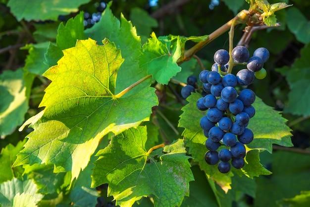 Blick auf den weinberg mit weintrauben. erntezeit der trauben in der republik moldau.