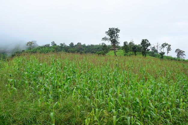 Blick auf die berge und helle maisfelder.