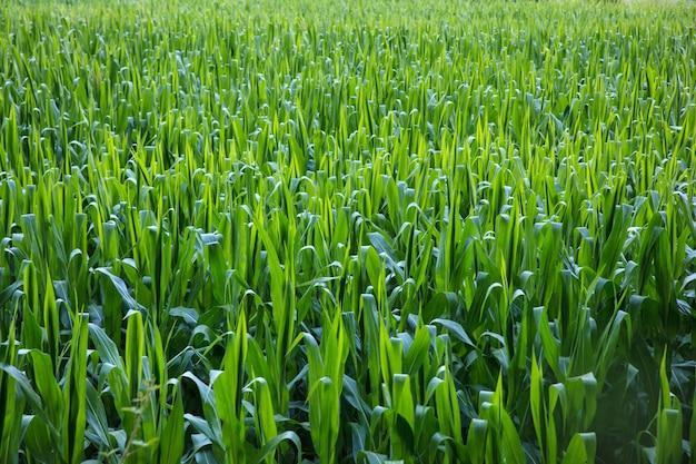 Blick auf die maisplantage