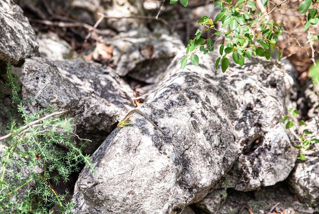 Blick auf eine eidechse auf dem felsen