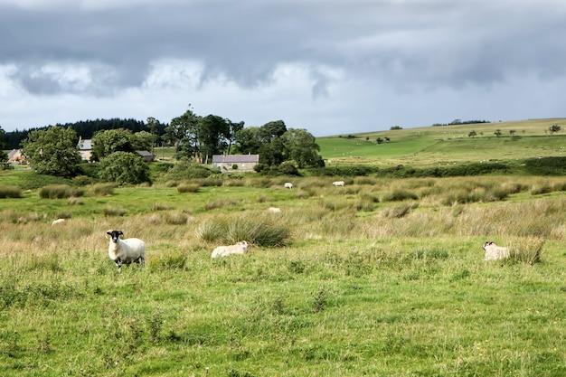 Blick auf eine schaffarm in cumbria