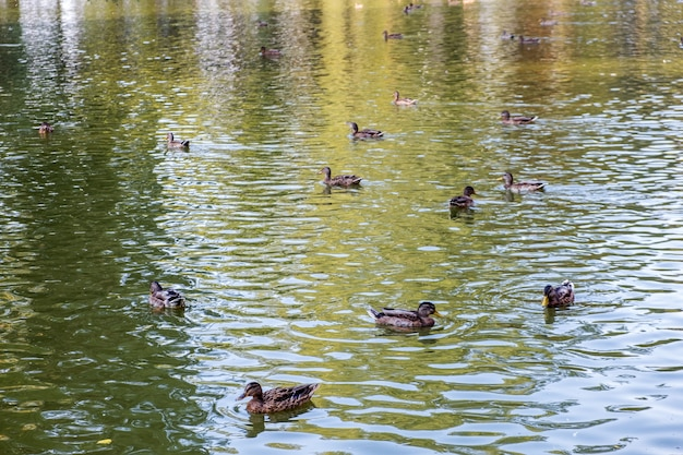 Blick auf enten, die im sommer in einem see schwimmen.
