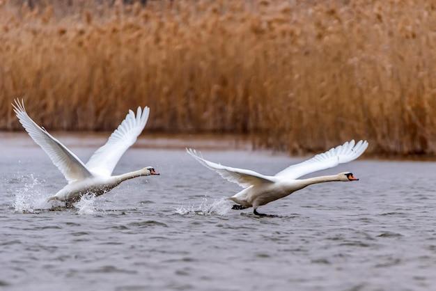 Blick auf höckerschwan oder cygnus olor nehmen flügel auf wasser