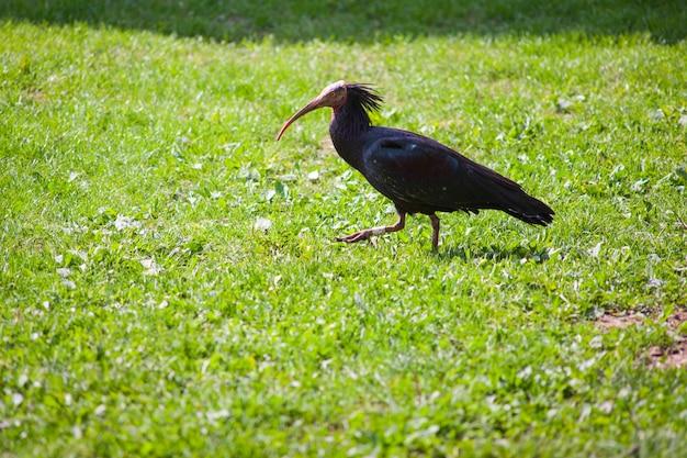 Blick auf ibis eremita