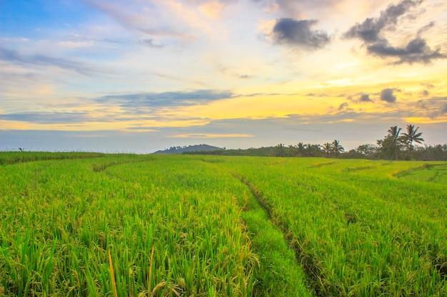 Blick auf reisfelder in einem kleinen, schönen dorf mit gelbem reis und sonnenuntergang im norden von bengkulu