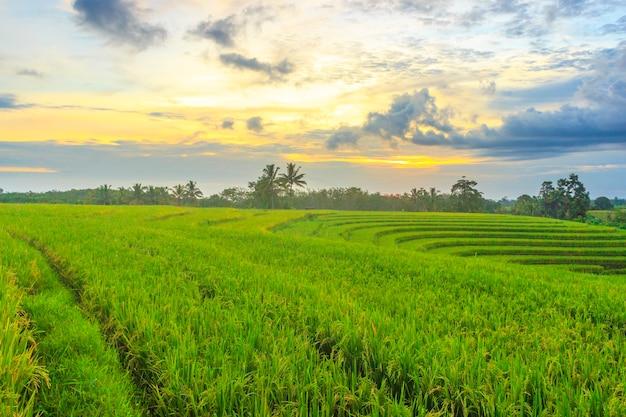 Blick auf reisfelder in einem kleinen, schönen dorf mit gelbem reis und sonnenuntergang in indonesien in