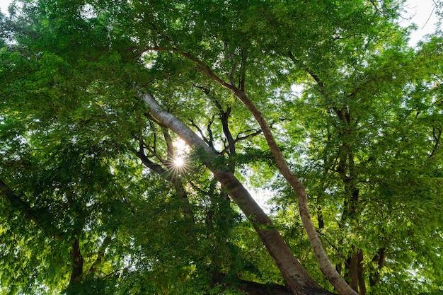 Blick nach oben auf frische grüne blätter auf großen ästen mit sonnenstrahl. sonnenlicht durch blätter im wald. frische naturhölzer.