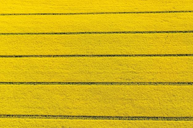 Blick von oben auf das gelbe rapsfeld, blühende rapsblüten von oben