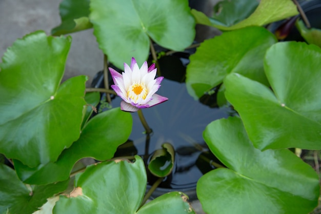 Blick von oben auf die lotus- oder wasserlilly-blume, selektiver fokus.