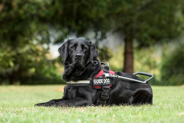 Blindenhund labrador retriever, 7 jahre alt, im park
