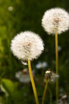 Bloomig löwenzahnblumen. frühlingszeit-konzept.