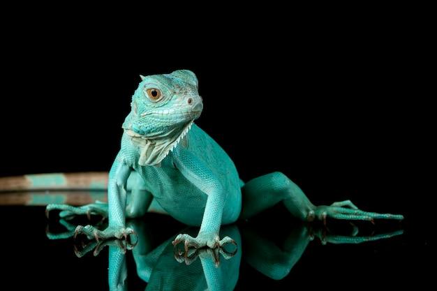 Blue iguana closeup auf reflexion mit schwarzem hintergrund blue iguana grand cayman blue iguana