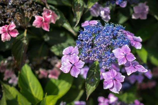 Blue lacecap hortensie beginnt gerade zu blühen