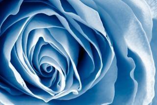 Blue rose hdr