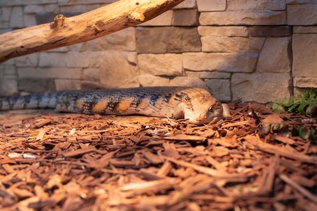 Blue-tongued skink, lizard liegt unter lampenlicht auf sägemehl. schwarze und gelbe gigantische eidechse