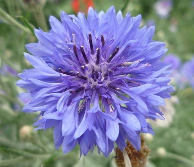 Blueberry wilden gard blume flockenblume