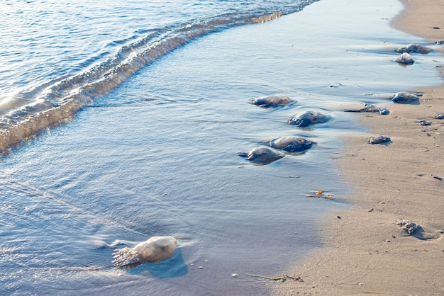 Bluebottles am strand in new south wales, australien, selektiver fokus angespült.