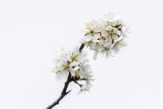 Blühen. baumast mit kirschblüte auf weißem hintergrund.
