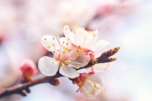 Blühen der zeit des aprikosenbaums im frühjahr mit schönen blumen. gartenarbeit. tiefenschärfe.
