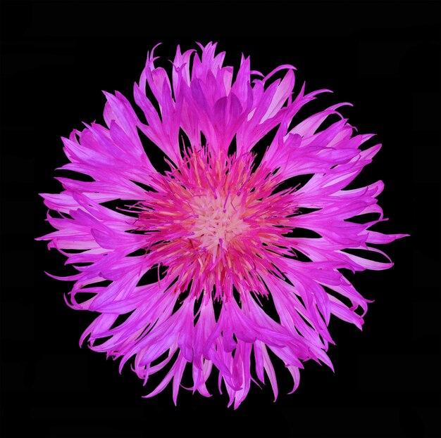 Blühen sie die kornblume, die auf schwarzem hintergrund, draufsichtabschluß herauf ebenenlage lokalisiert wird