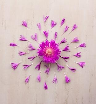 Blühen sie die purpurrote kornblume - purpurrot mit den blumenblättern, die auf cremefarbenem hintergrund ausgebreitet werden. flachgelegt, draufsicht
