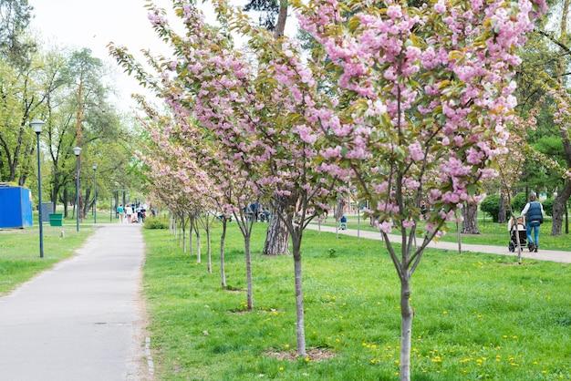 Blühen sie sakura-kirschbäume in einem park mit wandernden menschen