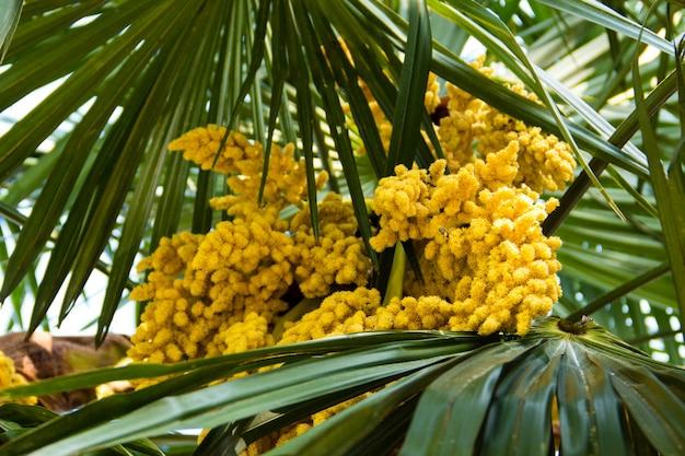 Blühen von trachycarpus. gelbe blumen der windmühlen-palme-nahaufnahme
