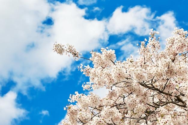 Blühen whte japan kirschblüte-blumen