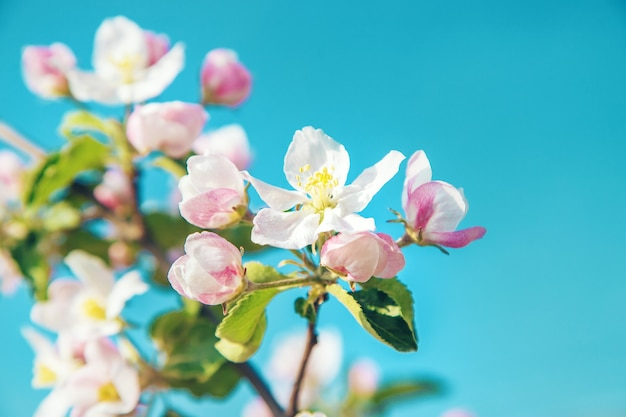 Blühende apfelbäume im frühjahr im garten. selektiver fokus. blumen.