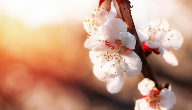 Blühende aprikose auf unscharfem natürlichem hintergrund in pastellfarben. aprikosenbaumzweig mit blütenständen auf einem frühlingssonnenuntergangshintergrund.