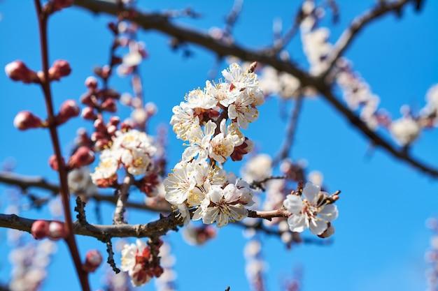 Blühende aprikose im frühjahr