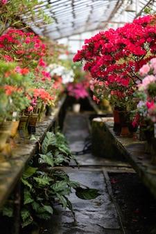 Blühende azaleenblühende pflanzen-nahaufnahme. blühende dekorative rote knospenblumen und grüne blätterzweige.