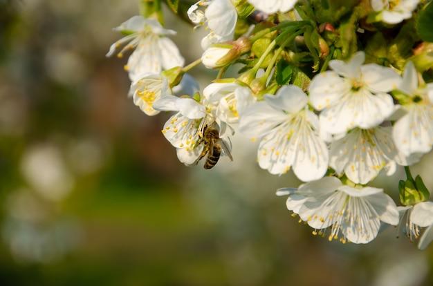 Blühende bäume. biene auf einer weißen blume. ast eines baumes mit weißen blüten